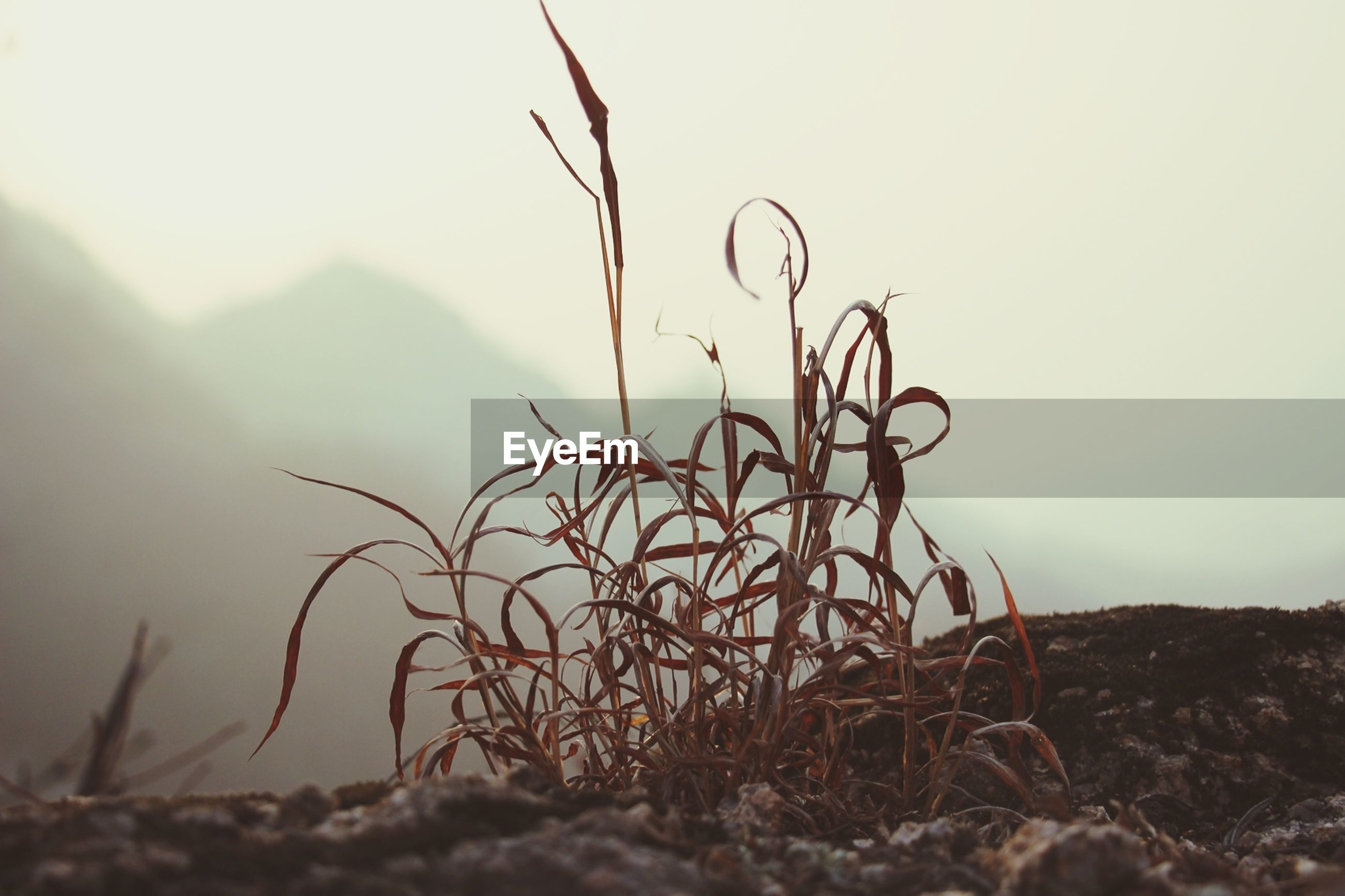 plant, field, clear sky, nature, tranquility, growth, dry, landscape, grass, focus on foreground, sky, close-up, dead plant, tranquil scene, outdoors, no people, copy space, day, selective focus, beauty in nature