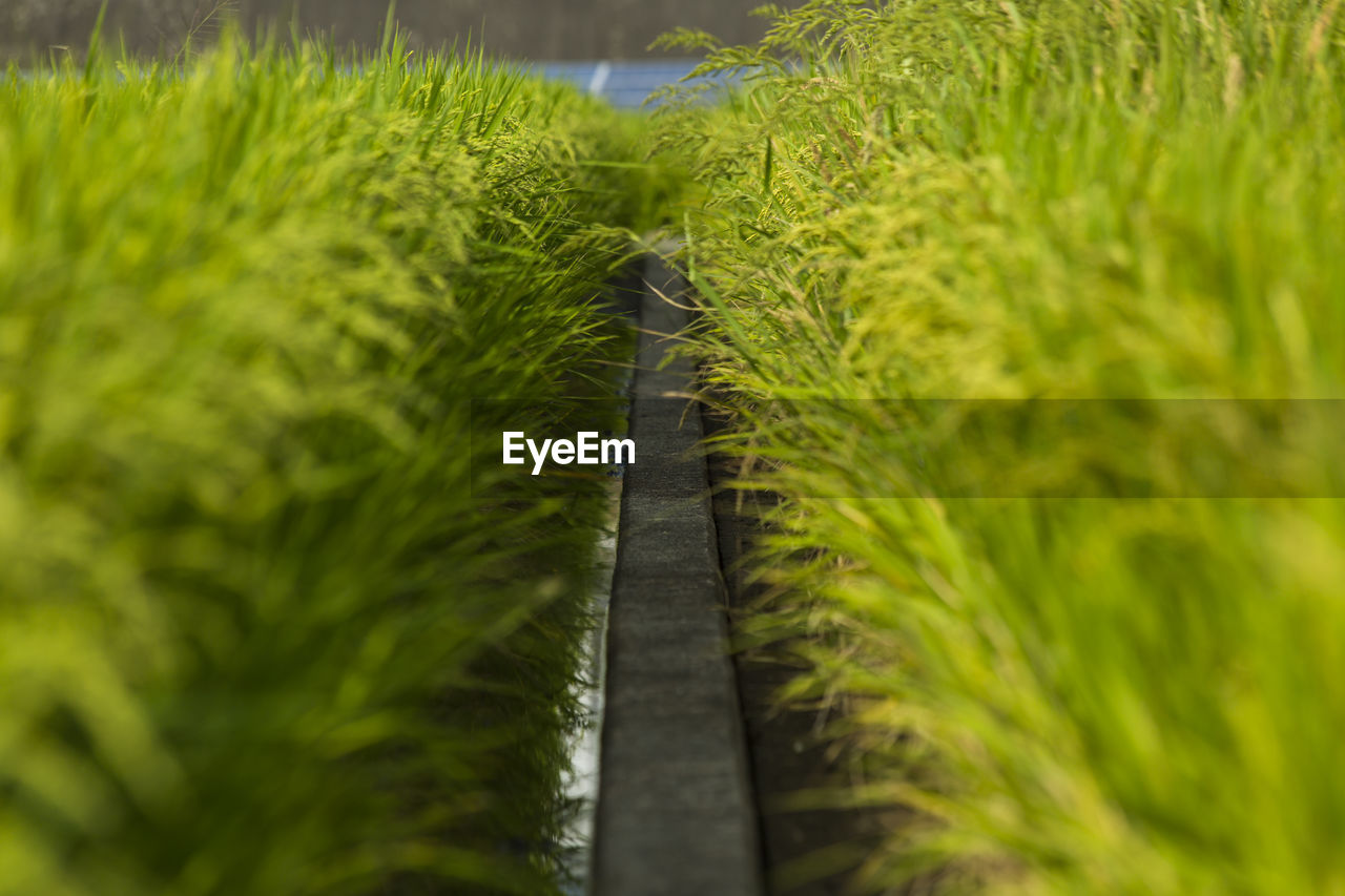 green color, plant, growth, no people, selective focus, nature, day, close-up, beauty in nature, grass, outdoors, land, field, the way forward, tranquility, leaf, foliage, lush foliage, direction, sunlight