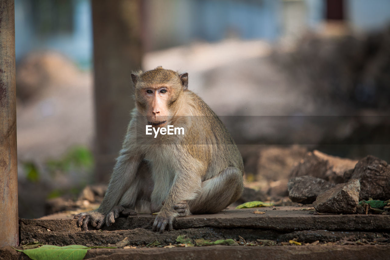 animal wildlife, mammal, animals in the wild, one animal, primate, focus on foreground, day, vertebrate, no people, looking, sitting, outdoors, nature, looking away, solid, wall