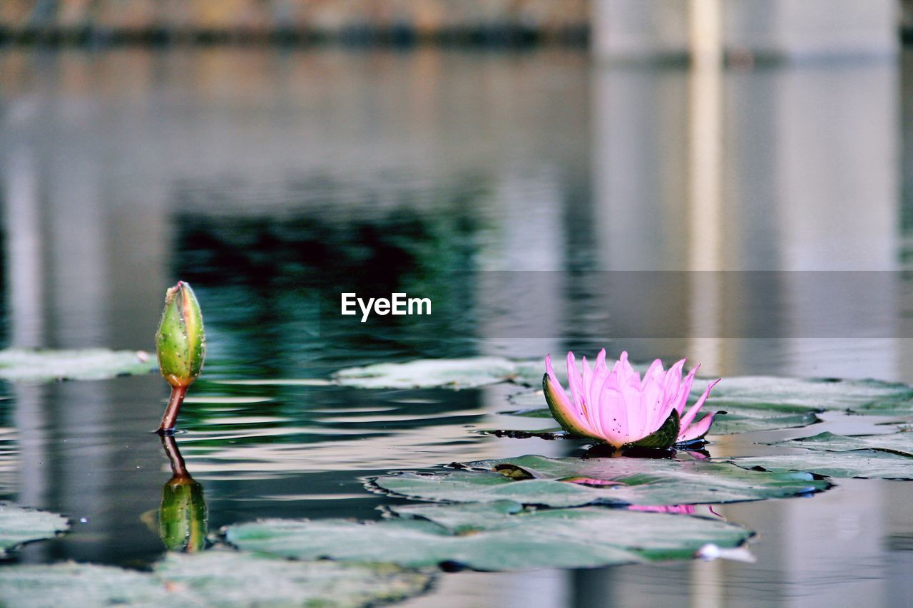 Lotus water lily growing in pond