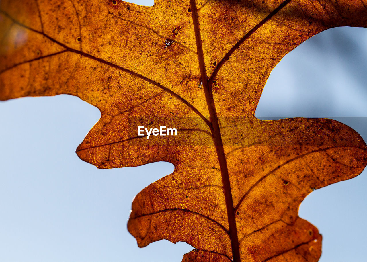 leaf, autumn, nature, change, beauty in nature, day, outdoors, low angle view, tree, maple, branch, no people, tranquility, clear sky, scenics, sky, close-up