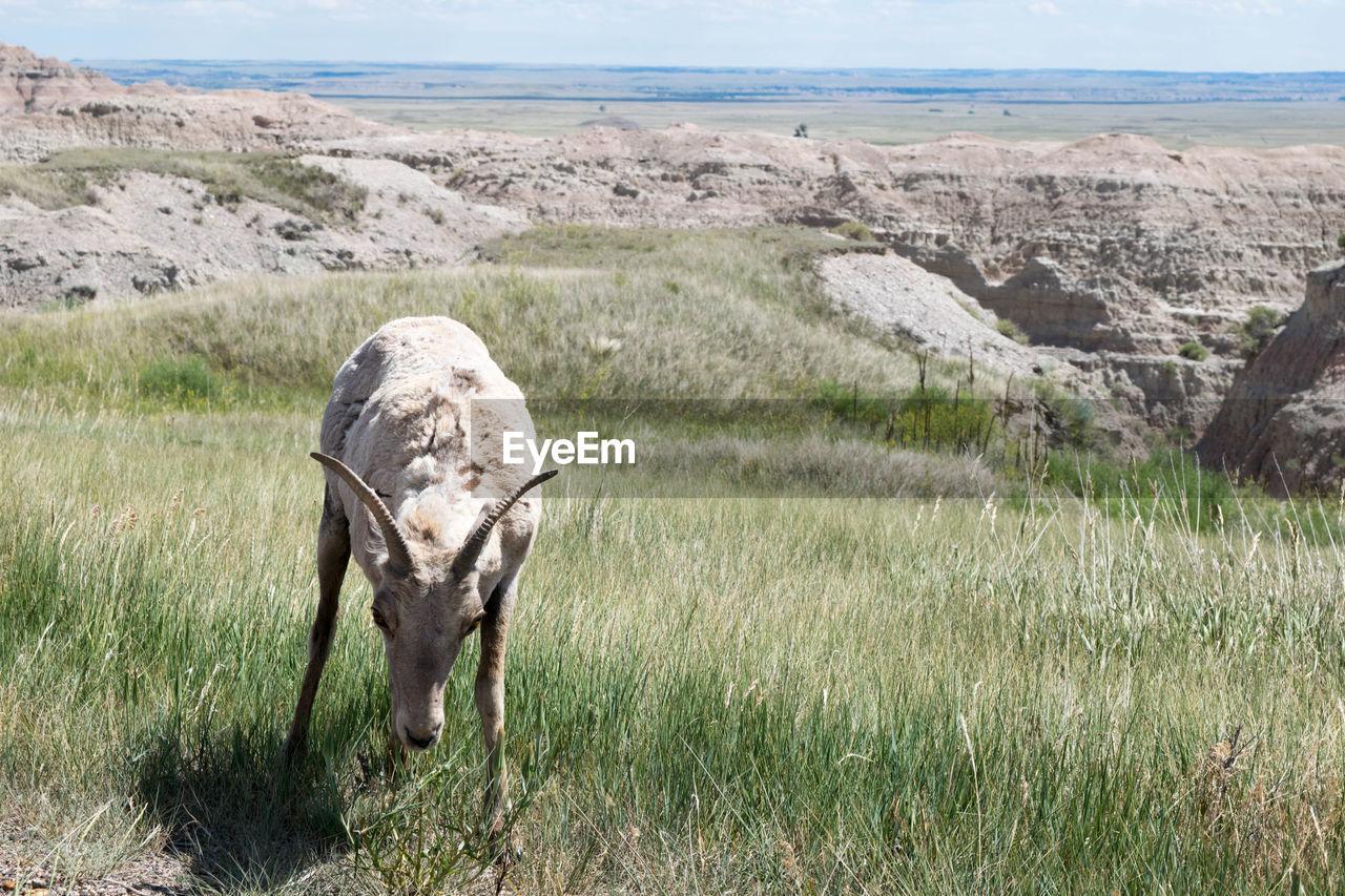 Wild Goat Standing On Grassy Field