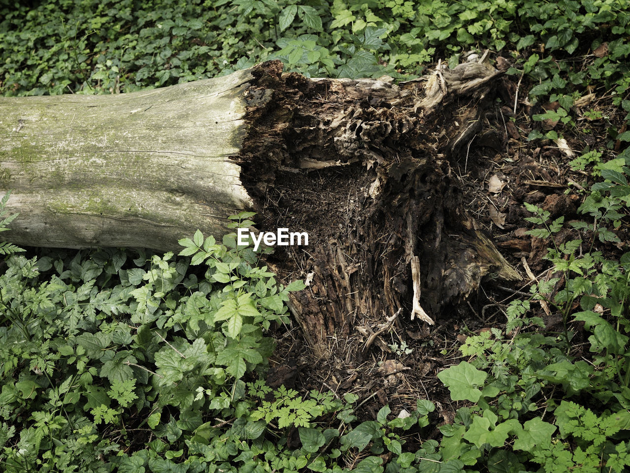 plant, growth, plant part, tree, green color, nature, leaf, land, forest, no people, day, wood - material, field, outdoors, tree trunk, trunk, close-up, tranquility, bark, high angle view