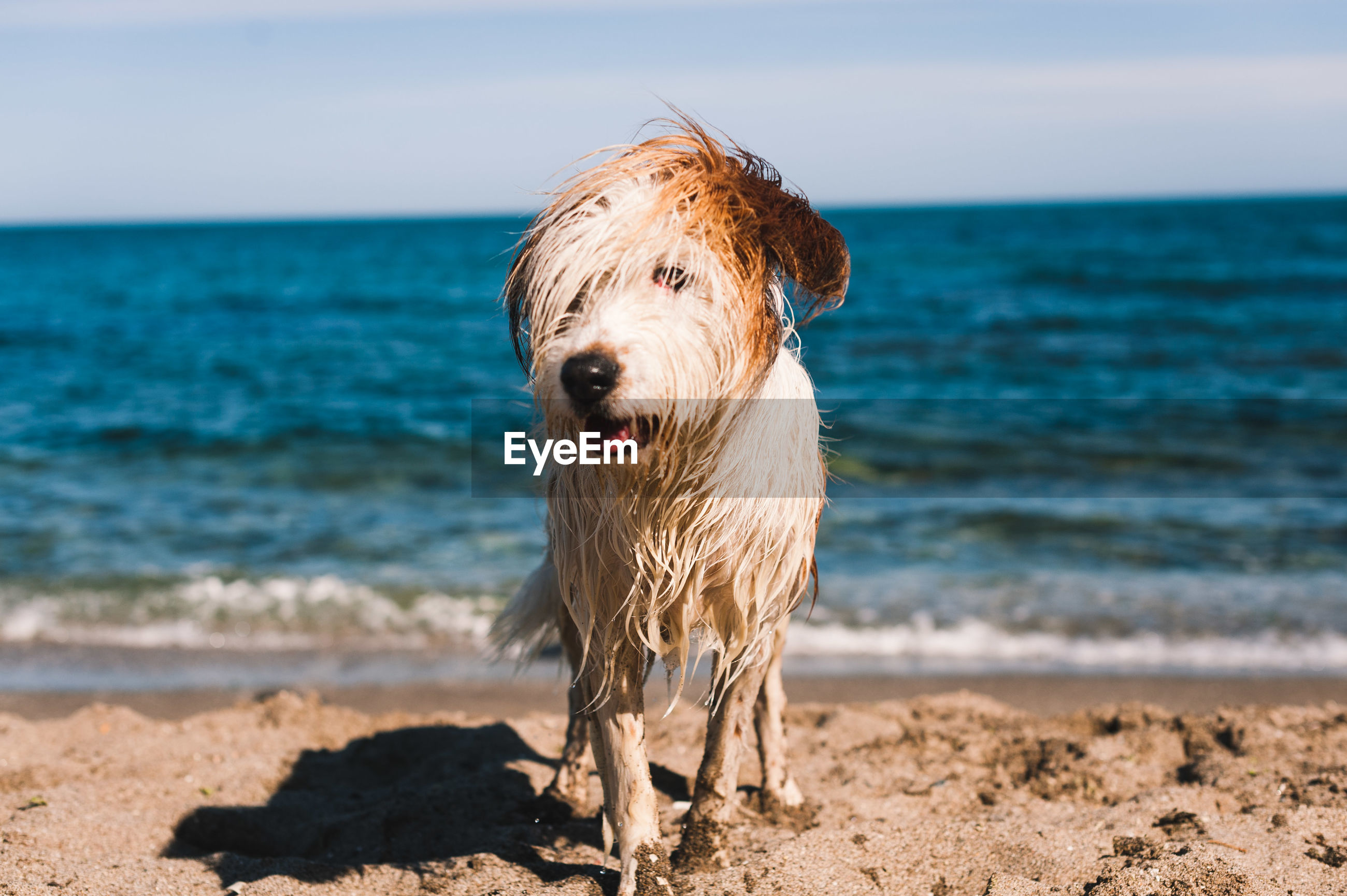 Hairy dog standing on shore at beach