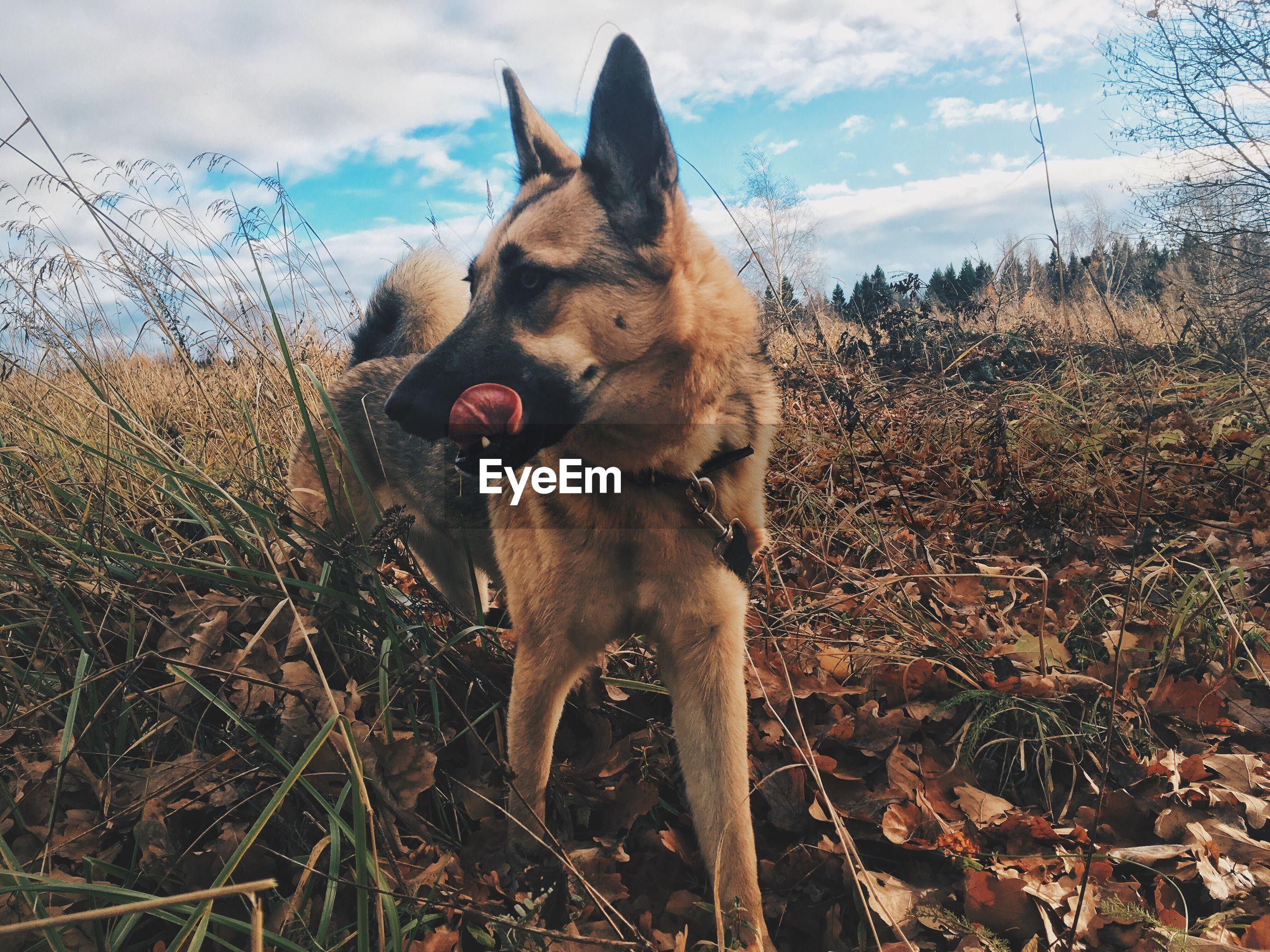 DOG STANDING ON FIELD