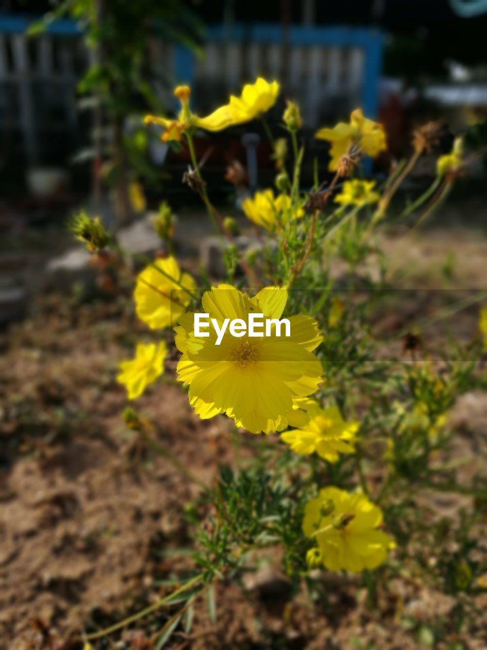 flower, yellow, fragility, petal, growth, nature, beauty in nature, plant, freshness, flower head, blooming, outdoors, day, focus on foreground, pansy, field, close-up, no people, springtime
