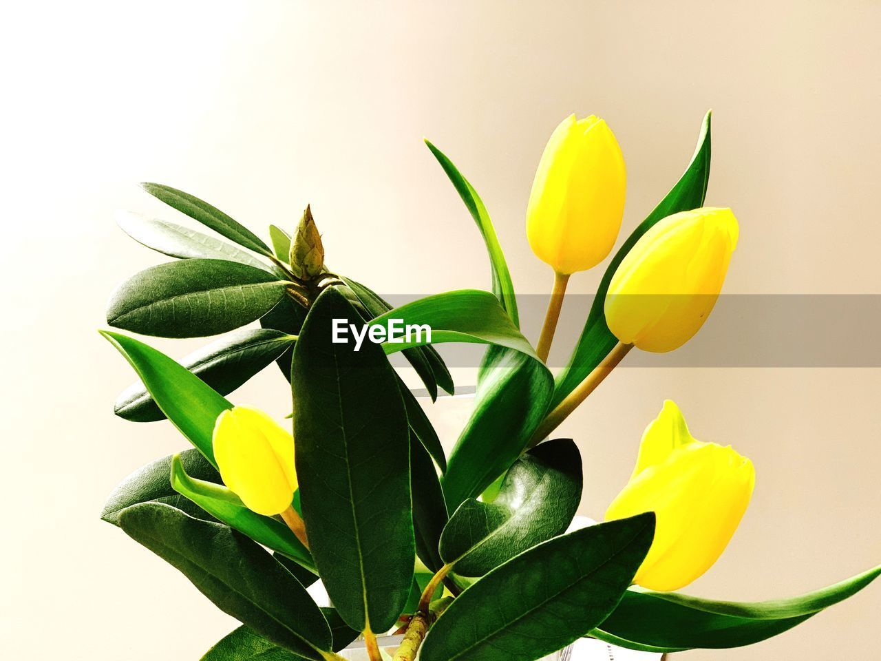 flowering plant, flower, plant, yellow, beauty in nature, petal, freshness, fragility, plant part, leaf, vulnerability, close-up, inflorescence, growth, flower head, green color, studio shot, white background, nature, no people, tulip, flower arrangement, houseplant, sepal