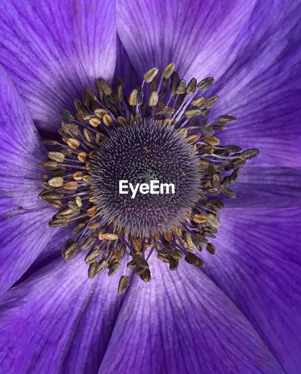 flower, purple, petal, fragility, flower head, beauty in nature, pollen, nature, freshness, growth, close-up, no people, plant, backgrounds, day, outdoors, blooming, thistle, passion flower, eastern purple coneflower