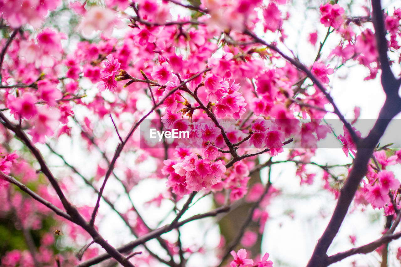 pink color, flowering plant, flower, plant, tree, freshness, blossom, growth, branch, fragility, beauty in nature, vulnerability, springtime, low angle view, nature, close-up, no people, day, cherry blossom, petal, cherry tree, outdoors, flower head, spring, bunch of flowers, plum blossom