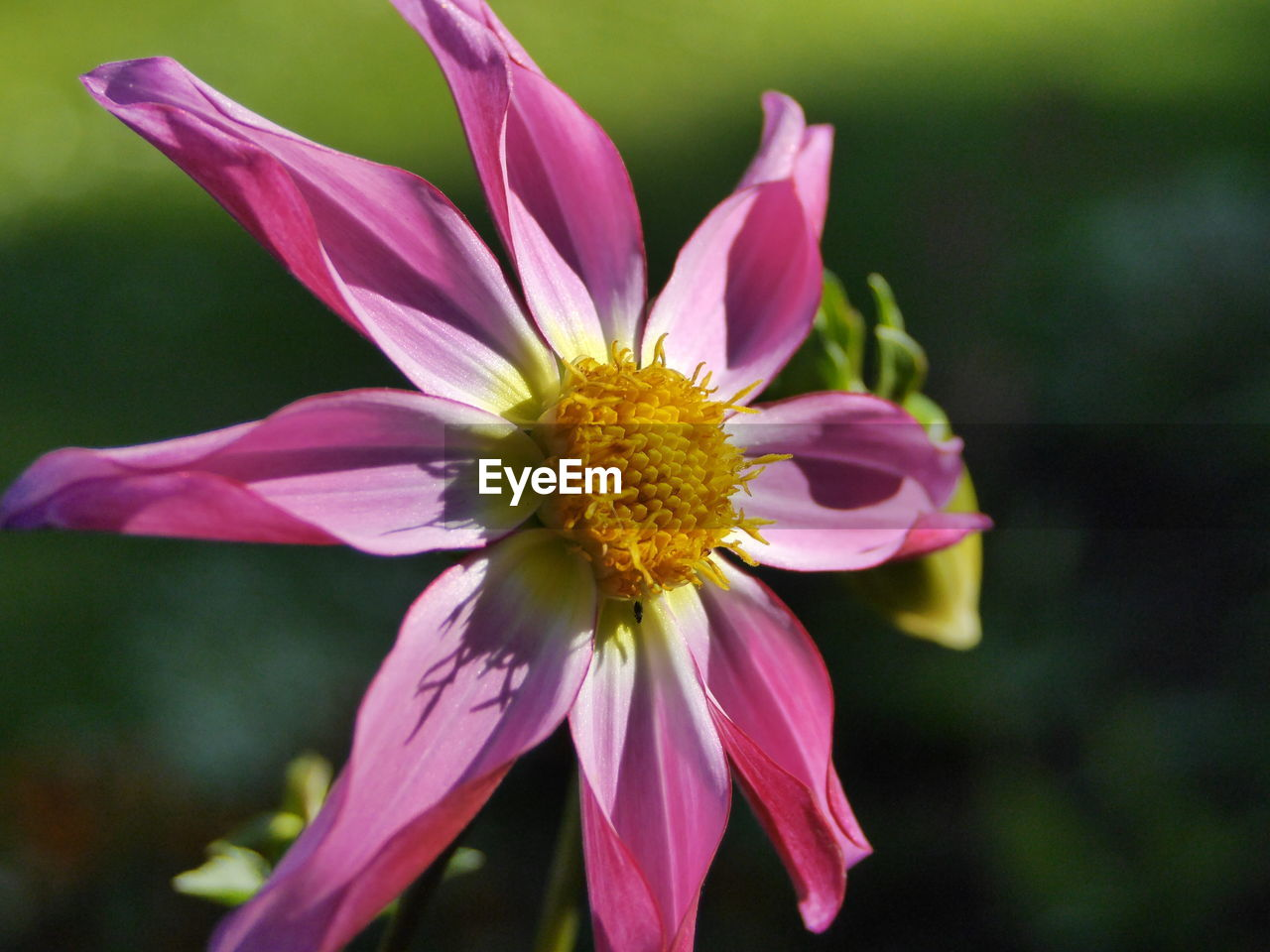 flower, petal, fragility, flower head, beauty in nature, nature, freshness, growth, yellow, close-up, pollen, plant, blooming, focus on foreground, no people, outdoors, pink color, day