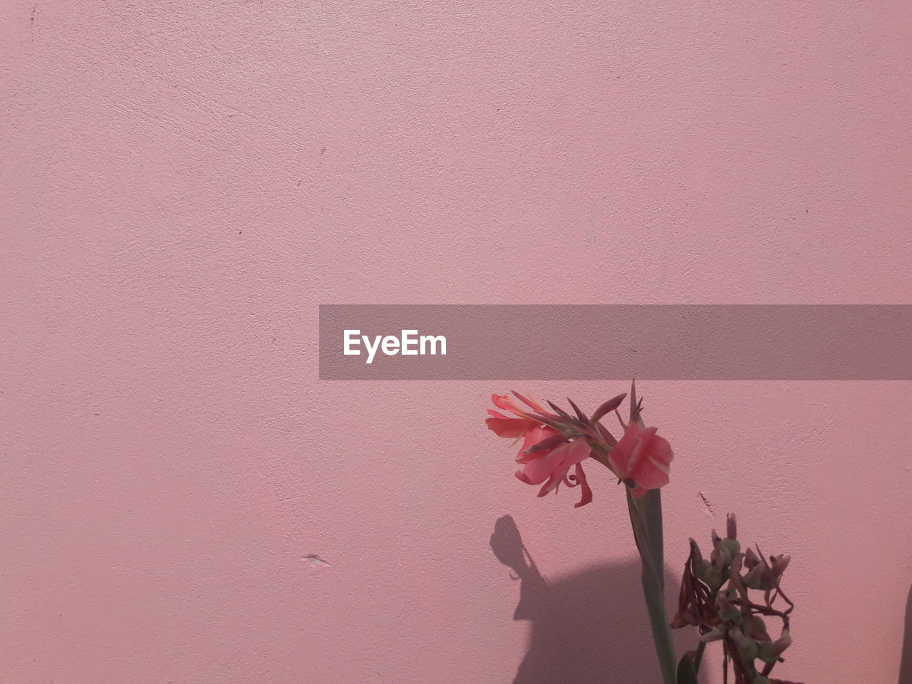 plant, pink color, flower, flowering plant, wall - building feature, beauty in nature, nature, freshness, fragility, vulnerability, petal, growth, close-up, copy space, no people, leaf, indoors, inflorescence, built structure, day, flower head