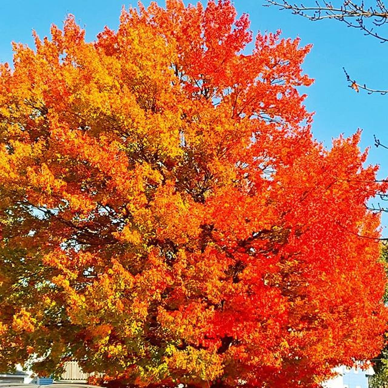 autumn, change, leaf, tree, orange color, nature, maple tree, maple leaf, beauty in nature, outdoors, red, day, low angle view, no people, tranquility, scenics, multi colored, growth, sky, close-up, maple