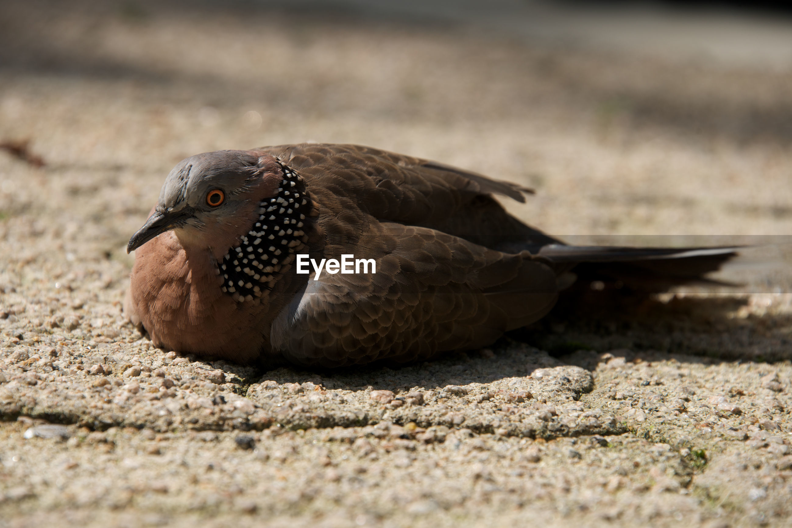 Close-up of spotted dove sitting on footpath