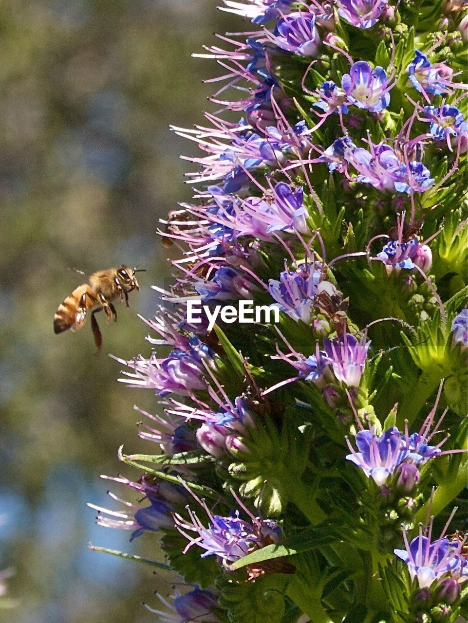 flower, purple, insect, animals in the wild, bee, fragility, nature, animal themes, growth, one animal, freshness, beauty in nature, pollination, day, outdoors, petal, honey bee, buzzing, animal wildlife, no people, plant, flower head, close-up