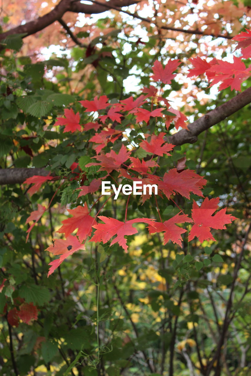 leaf, autumn, change, maple leaf, nature, growth, beauty in nature, maple, day, maple tree, tree, outdoors, red, focus on foreground, no people, close-up, branch, fragility