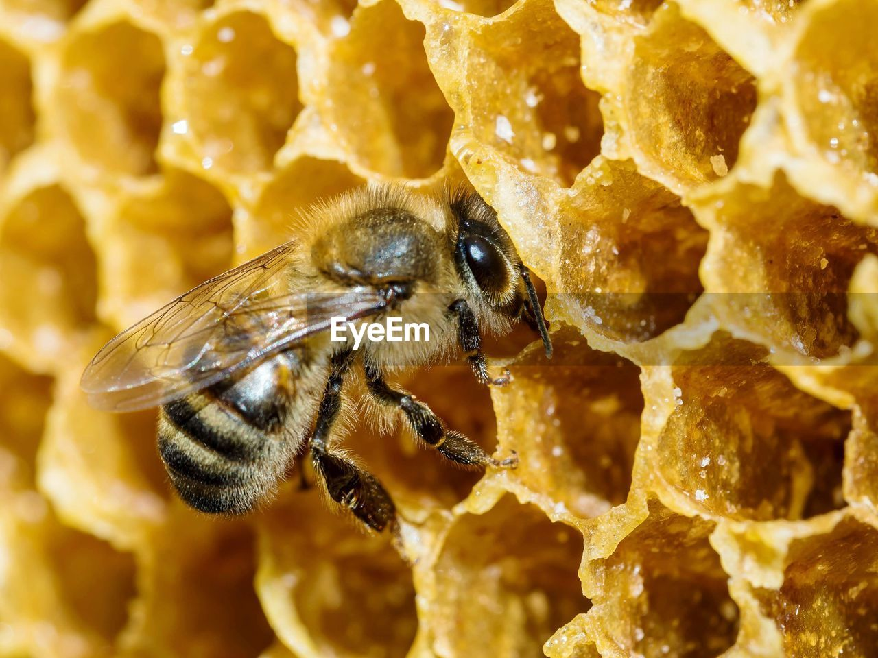 animal themes, animal, insect, animal wildlife, animals in the wild, invertebrate, one animal, bee, close-up, no people, beauty in nature, honey bee, nature, yellow, honeycomb, day, focus on foreground, zoology, apiculture, outdoors, flower head, pollination