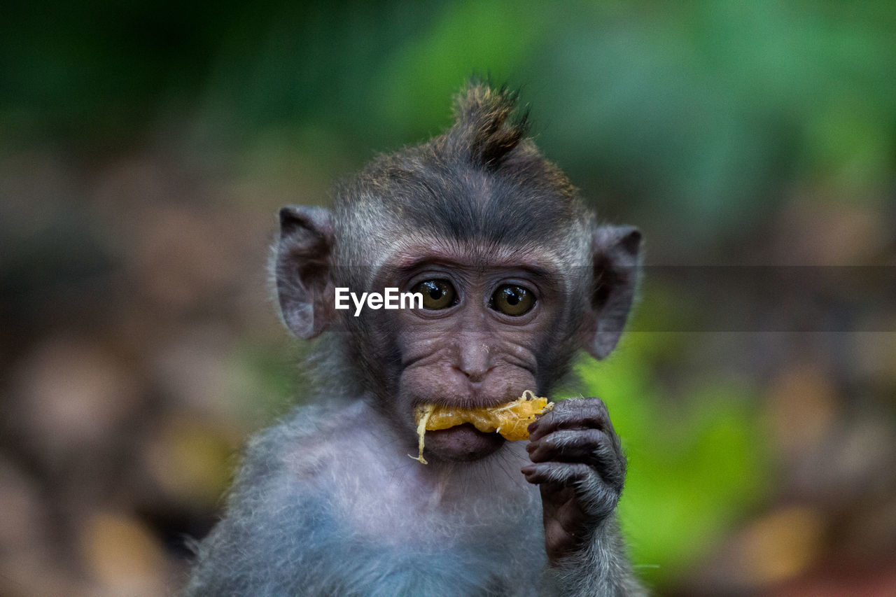 primate, monkey, animal themes, animal, mammal, animal wildlife, animals in the wild, one animal, focus on foreground, vertebrate, day, eating, food, ape, close-up, no people, portrait, holding, healthy eating, fruit, outdoors, animal head, hungry