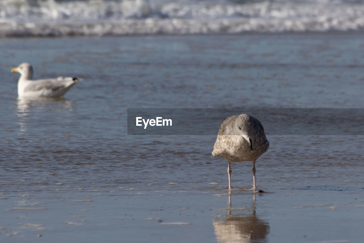 water, bird, animals in the wild, vertebrate, animal themes, animal, animal wildlife, sea, one animal, day, no people, nature, beauty in nature, beach, water bird, waterfront, focus on foreground, outdoors, seagull