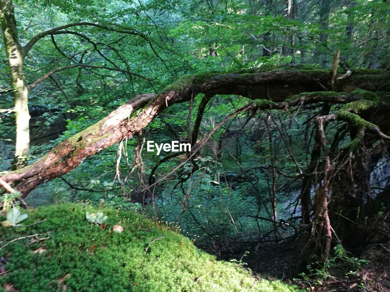 tree, forest, nature, branch, growth, tree trunk, green color, tranquility, beauty in nature, no people, outdoors, day, moss, dead tree