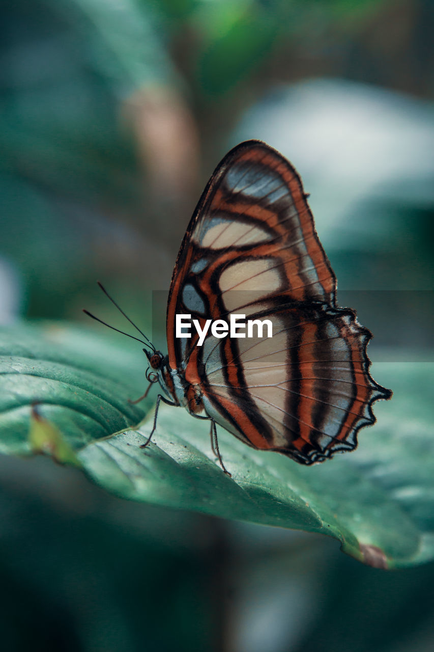 animal wildlife, animal themes, animals in the wild, animal, invertebrate, insect, one animal, close-up, animal wing, plant part, selective focus, beauty in nature, leaf, no people, butterfly - insect, nature, day, focus on foreground, animal markings, outdoors, butterfly