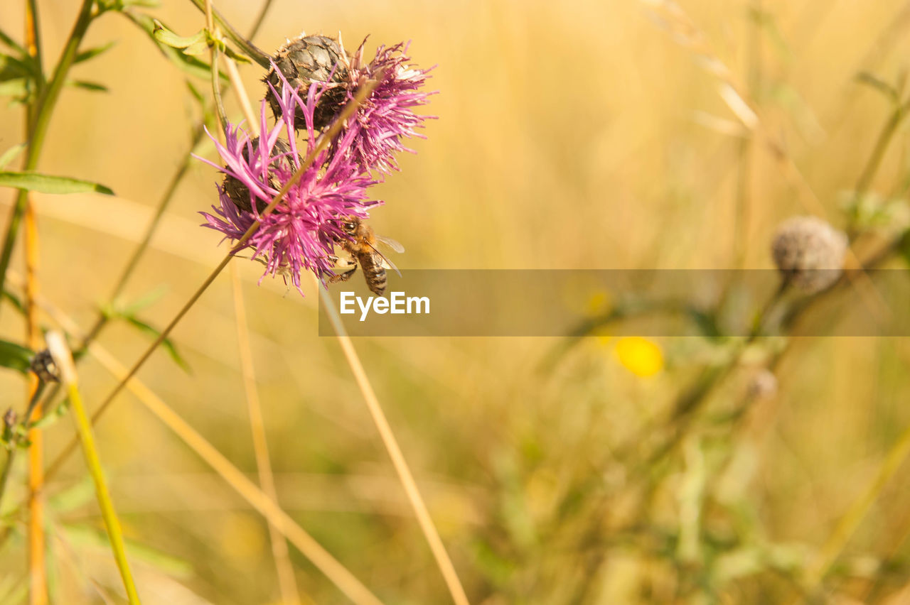 flower, insect, nature, plant, one animal, purple, fragility, growth, animal themes, petal, animals in the wild, beauty in nature, pollination, no people, flower head, freshness, animal wildlife, bee, close-up, outdoors, day, blooming, thistle, grass