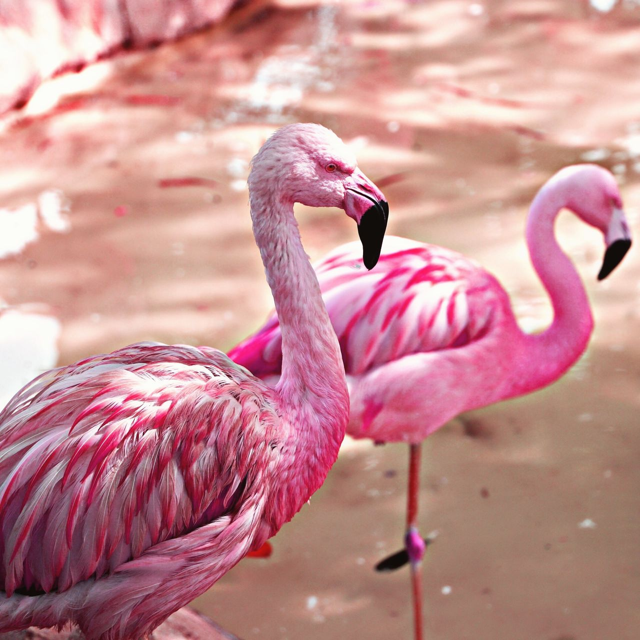 pink color, vertebrate, animal themes, bird, animal, animals in the wild, flamingo, animal wildlife, focus on foreground, group of animals, water, nature, beak, no people, day, close-up, two animals, animal neck, freshwater bird