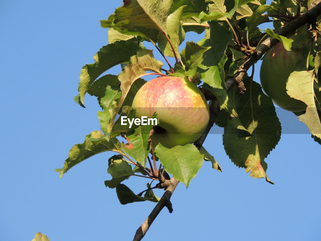 fruit, healthy eating, food, food and drink, plant, wellbeing, growth, freshness, apple - fruit, sky, leaf, nature, tree, apple tree, plant part, no people, day, fruit tree, close-up, low angle view, outdoors, ripe, apple