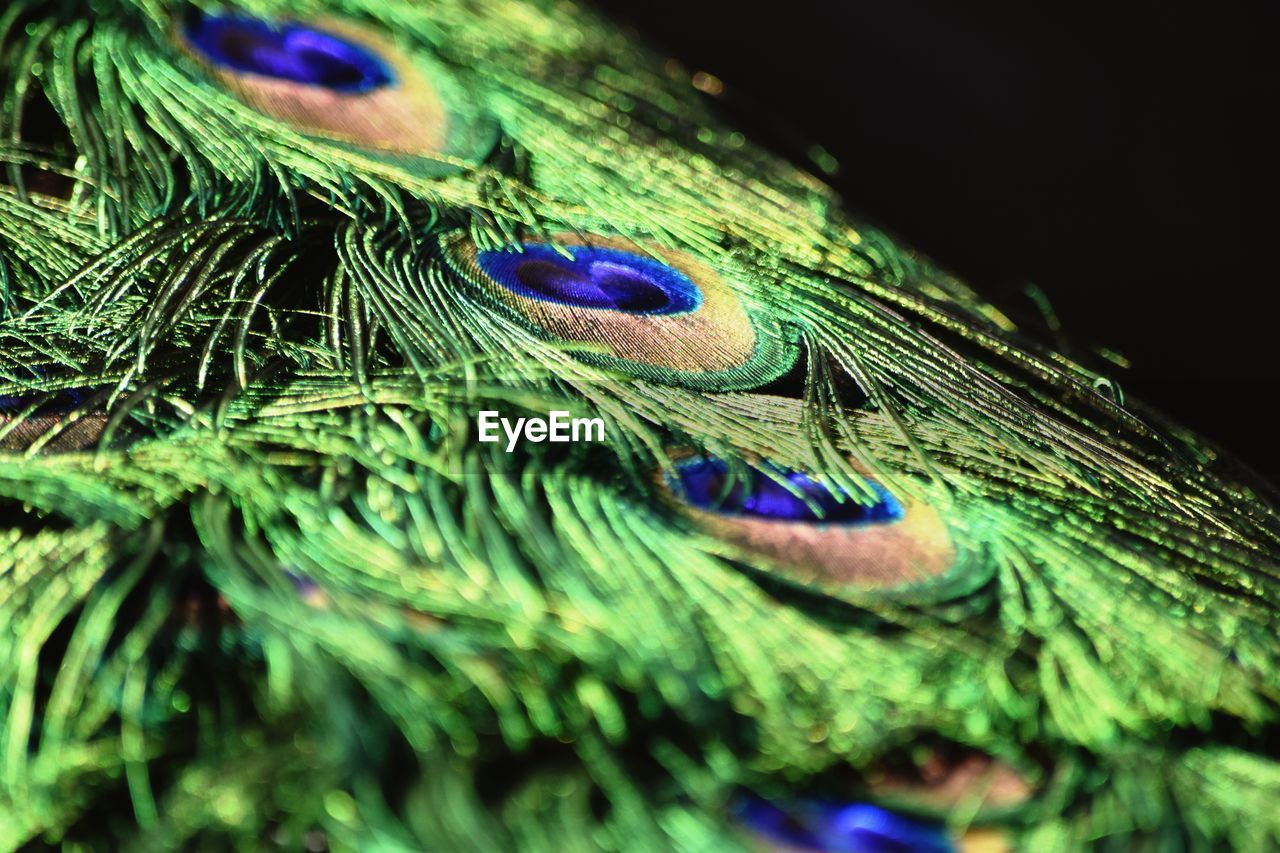 peacock feather, feather, close-up, peacock, green color, selective focus, multi colored, no people, softness, vulnerability, fragility, natural pattern, nature, beauty in nature, lightweight, blue, bird, still life, pattern, animal, outdoors, purple, black background, animal eye