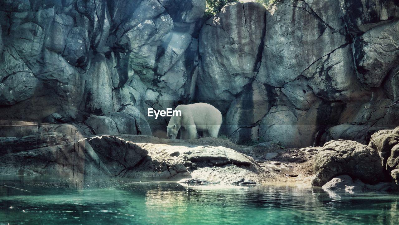 Side View Of Polar Bear Standing On Rocks