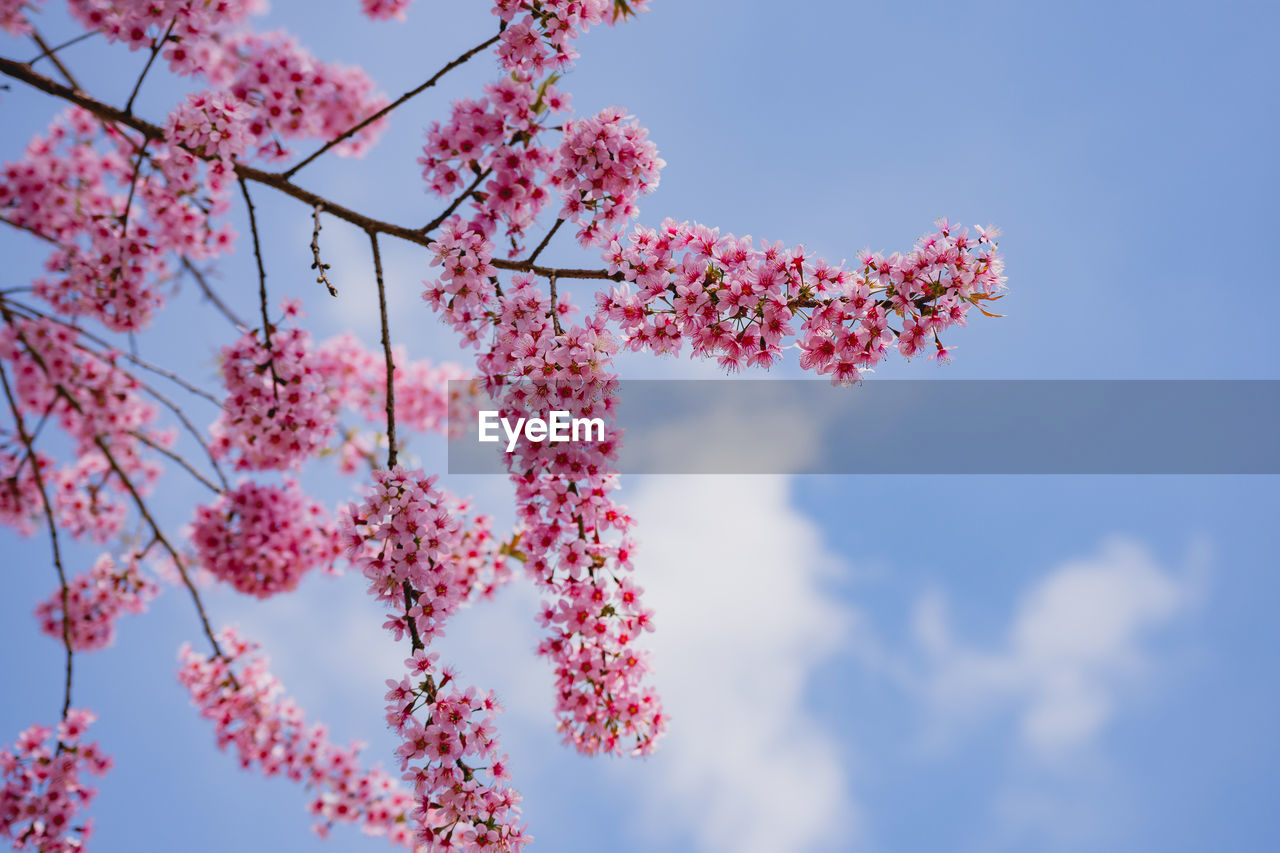 flowering plant, sky, flower, low angle view, plant, pink color, beauty in nature, nature, growth, fragility, vulnerability, no people, day, freshness, cloud - sky, outdoors, tree, branch, blossom, close-up, springtime, flower head, cherry blossom