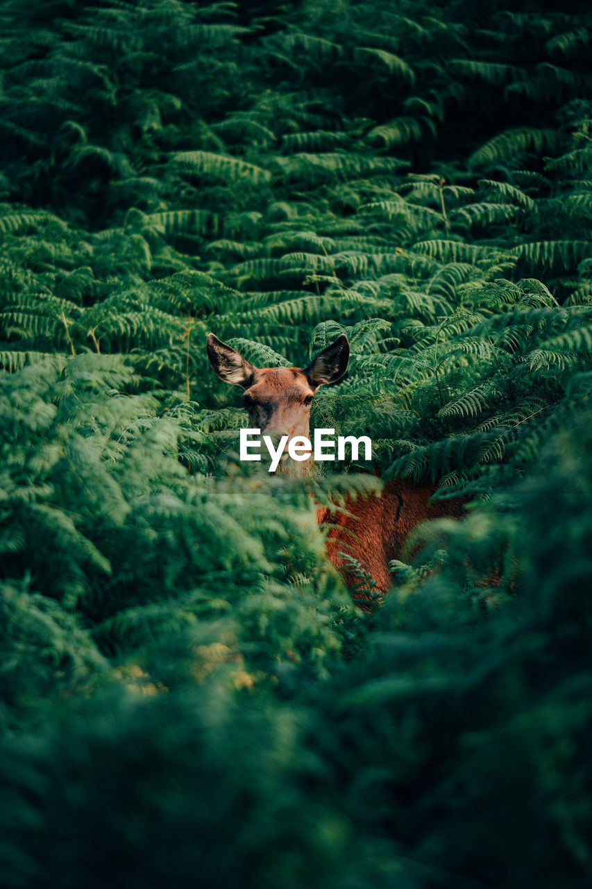 High Angle Portrait Of Deer Standing Amidst Plants In Forest