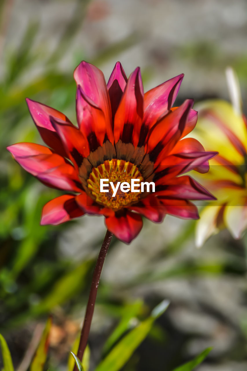 flower, petal, beauty in nature, fragility, nature, flower head, growth, freshness, no people, outdoors, plant, close-up, focus on foreground, day, blooming, zinnia