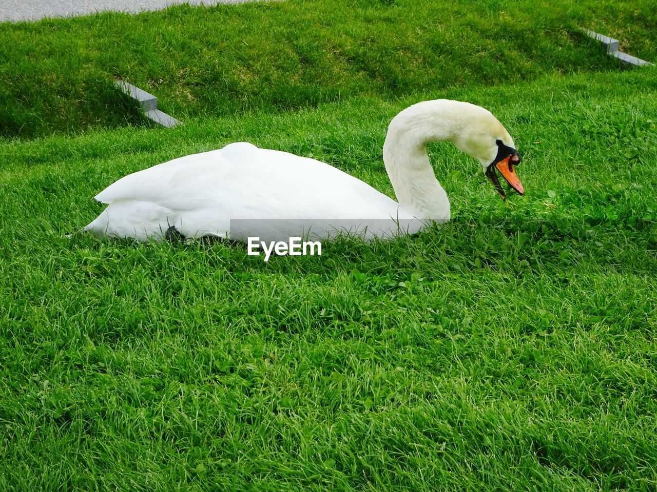 animal themes, animal, vertebrate, grass, bird, green color, one animal, plant, white color, nature, swan, animals in the wild, field, land, animal wildlife, day, no people, growth, water bird, side view, cygnet