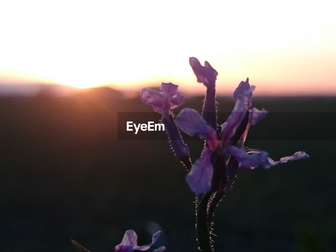 nature, beauty in nature, purple, growth, flower, fragility, sunset, plant, petal, outdoors, close-up, freshness, no people, flower head, day