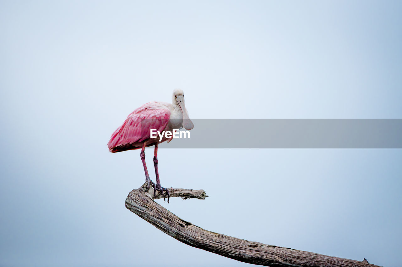 Pink bird perching on branch against sky