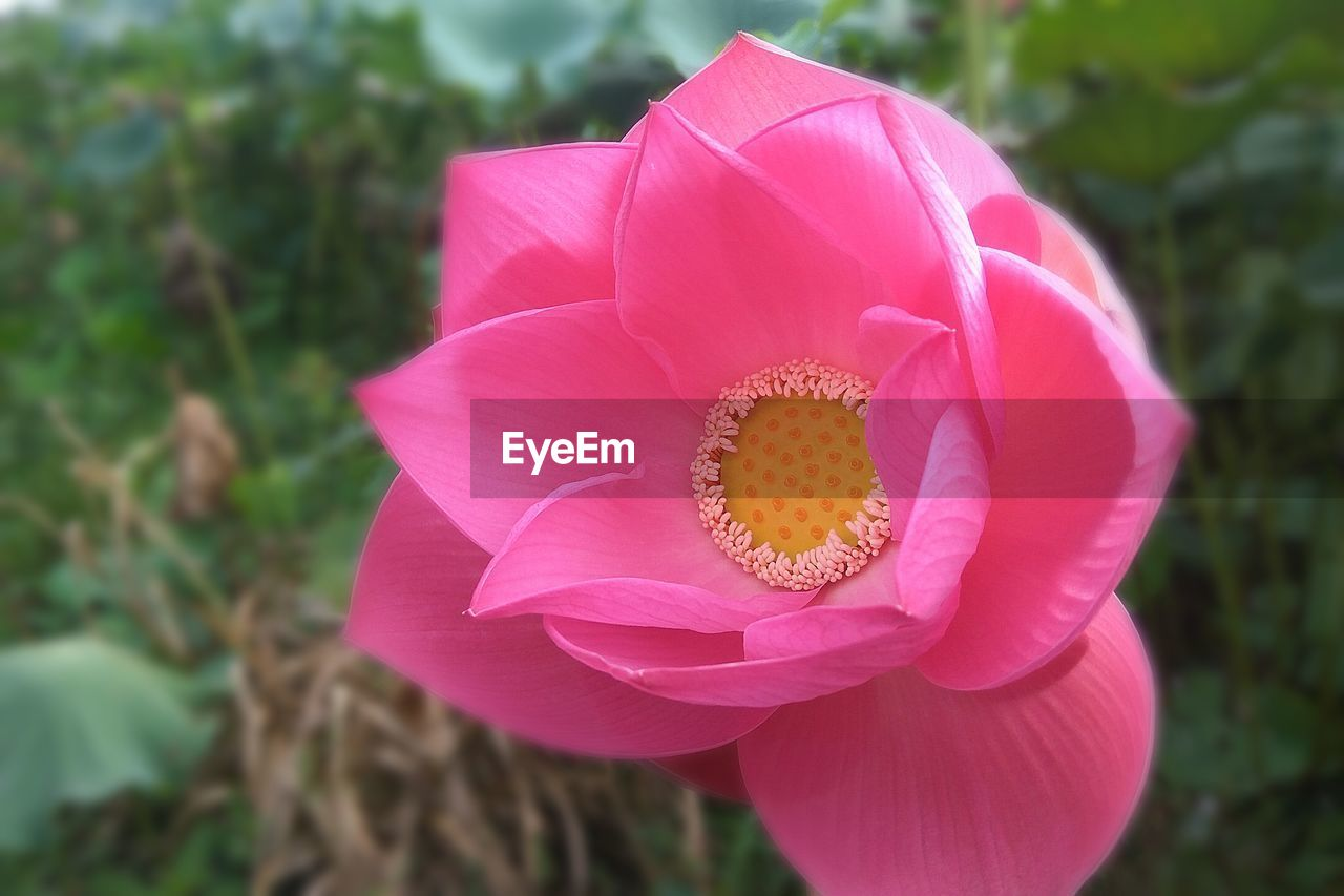 flower, flowering plant, petal, plant, flower head, pink color, beauty in nature, inflorescence, fragility, vulnerability, close-up, freshness, growth, nature, focus on foreground, pollen, day, no people, water lily, lotus water lily