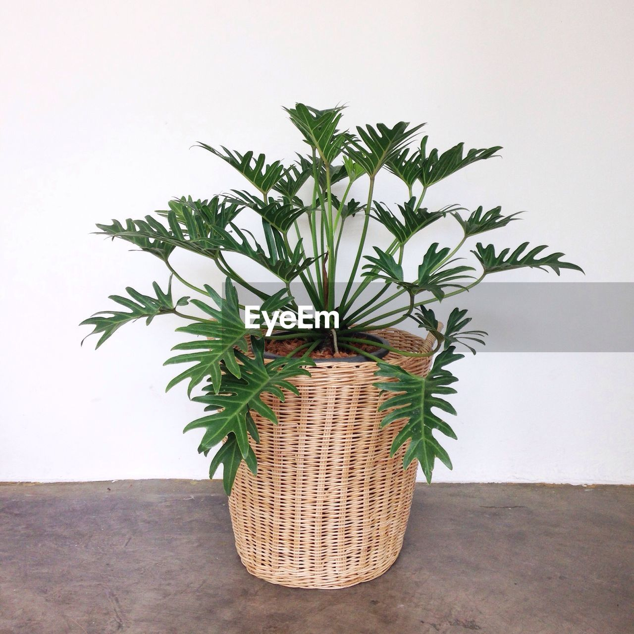 growth, plant, potted plant, indoors, leaf, nature, plant part, green color, no people, wall - building feature, close-up, day, beauty in nature, houseplant, wall, flooring, decoration, table, container, flower pot