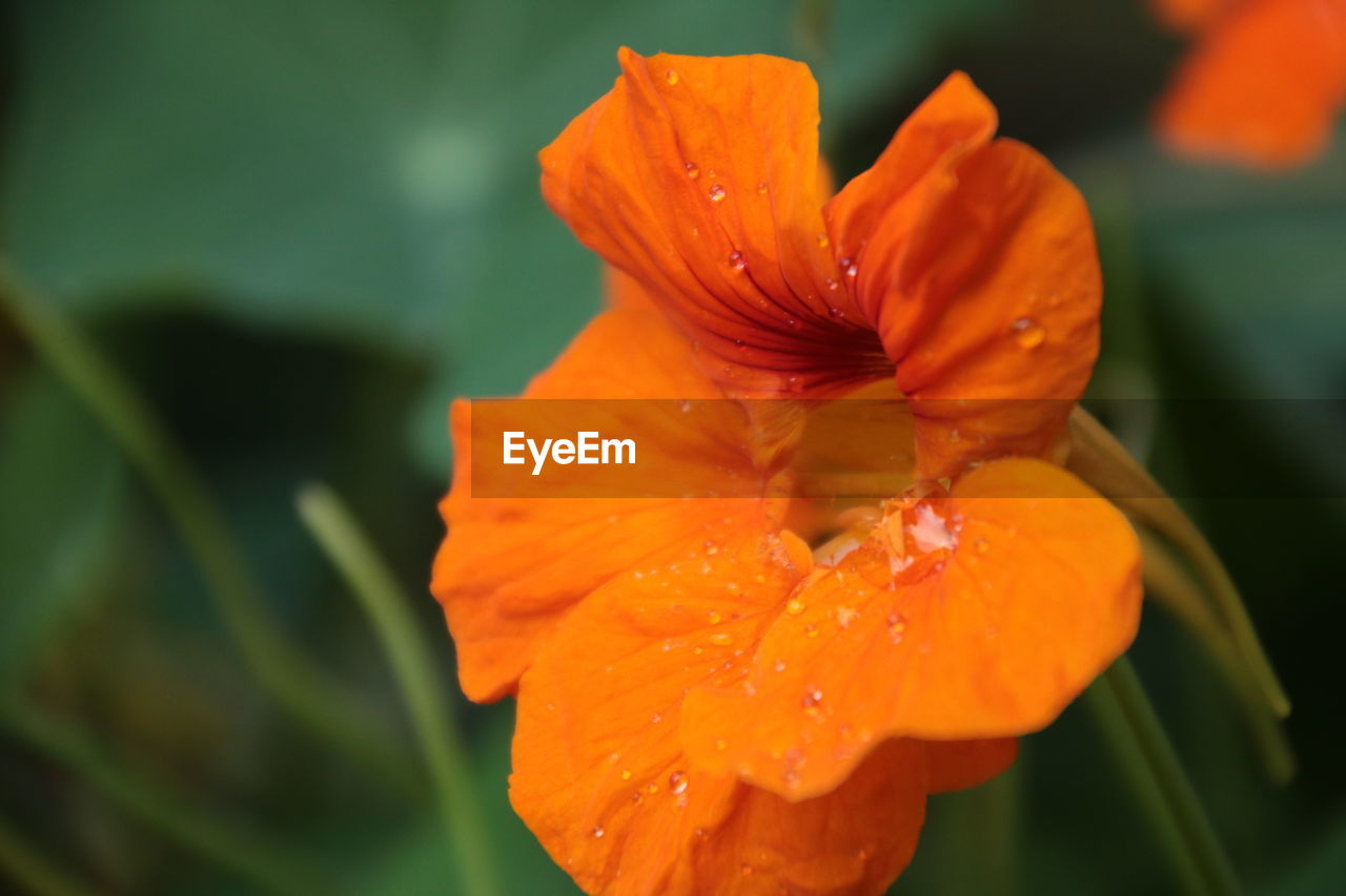 fragility, flowering plant, flower, petal, vulnerability, flower head, inflorescence, freshness, beauty in nature, plant, close-up, drop, growth, orange color, wet, water, nature, focus on foreground, pollen, no people, dew, raindrop, orange