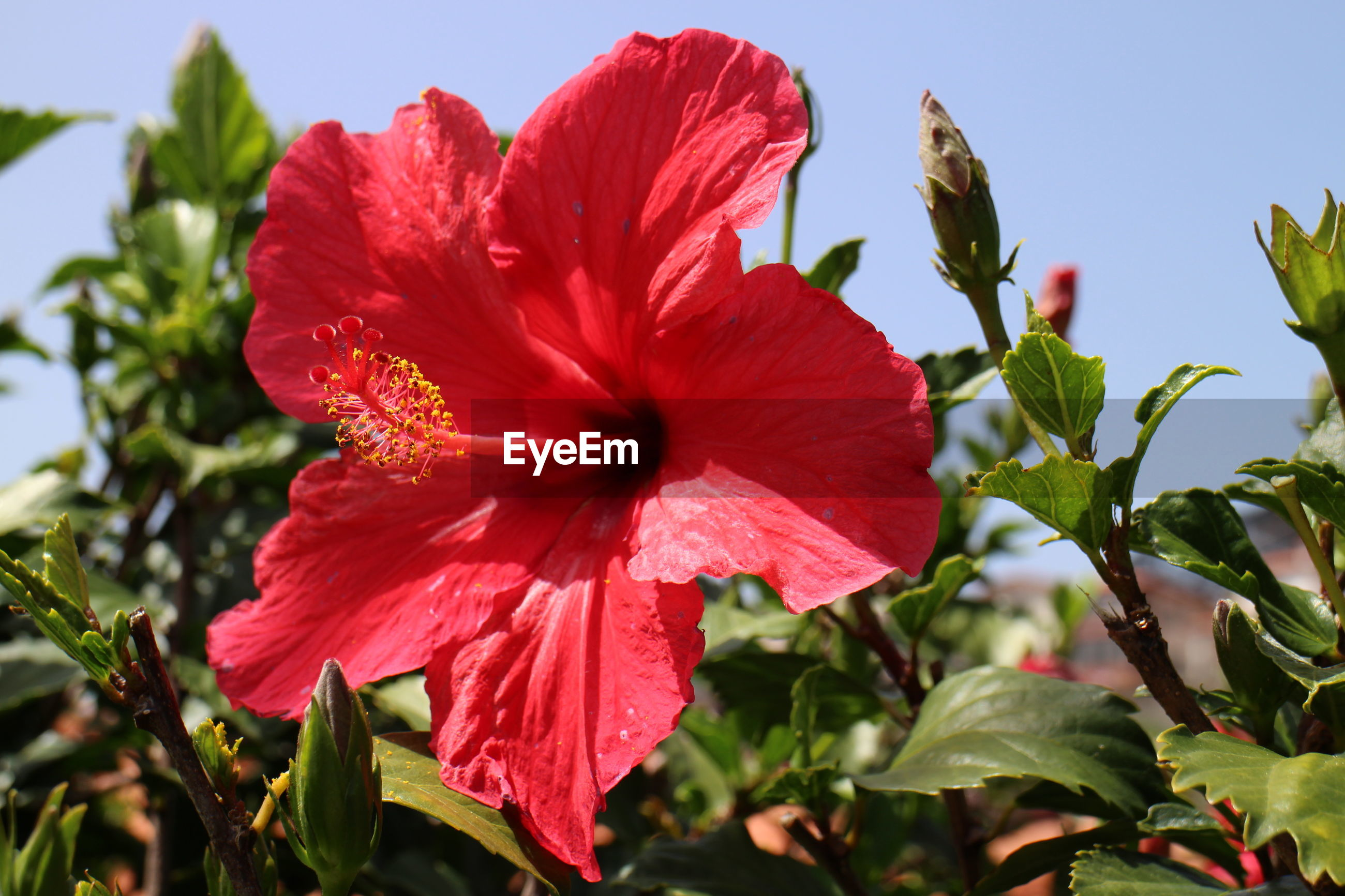 CLOSE-UP OF RED HIBISCUS IN PLANT