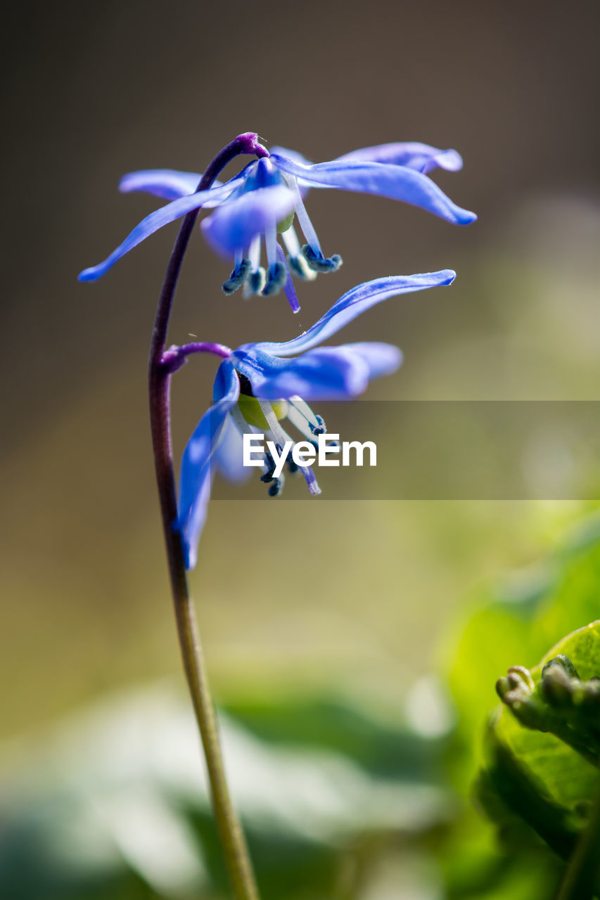 plant, growth, fragility, vulnerability, beauty in nature, flowering plant, flower, close-up, freshness, nature, petal, no people, focus on foreground, inflorescence, flower head, plant stem, selective focus, day, outdoors, blue, purple