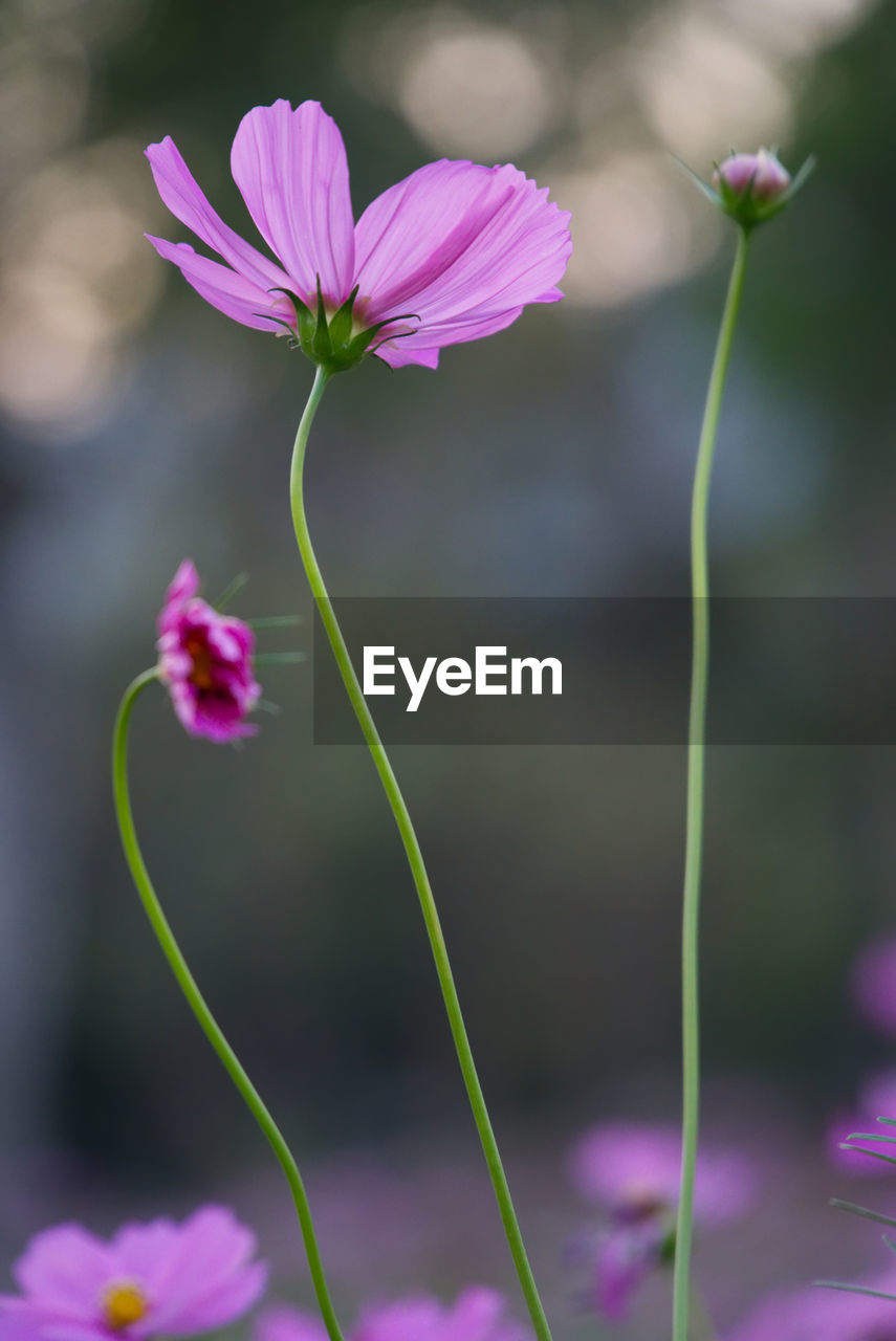 flowering plant, flower, plant, vulnerability, fragility, beauty in nature, freshness, growth, close-up, petal, focus on foreground, no people, nature, plant stem, pink color, flower head, inflorescence, day, botany, purple, outdoors, sepal
