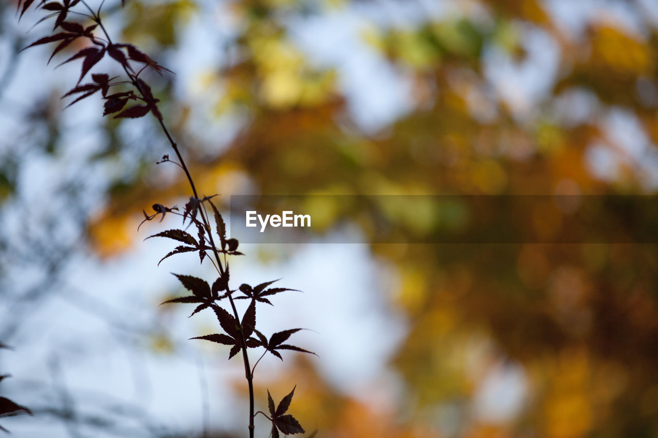 autumn, nature, leaf, focus on foreground, beauty in nature, tree, outdoors, no people, day, growth, close-up, branch, fragility