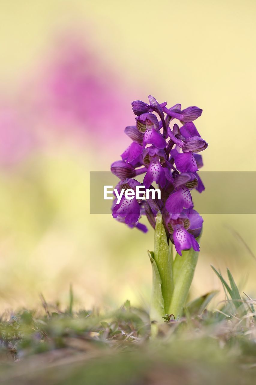flower, flowering plant, plant, vulnerability, beauty in nature, fragility, freshness, purple, growth, close-up, selective focus, petal, nature, flower head, inflorescence, no people, day, outdoors, land, field, springtime