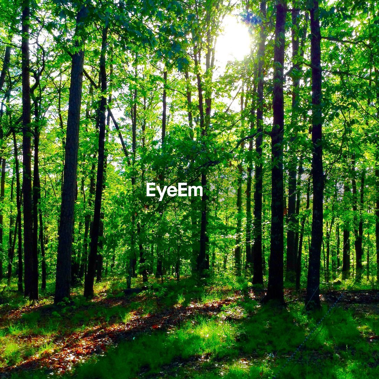 forest, tree, nature, tranquility, tranquil scene, sunbeam, beauty in nature, scenics, tree trunk, woodland, growth, day, no people, sunlight, wilderness, outdoors, landscape