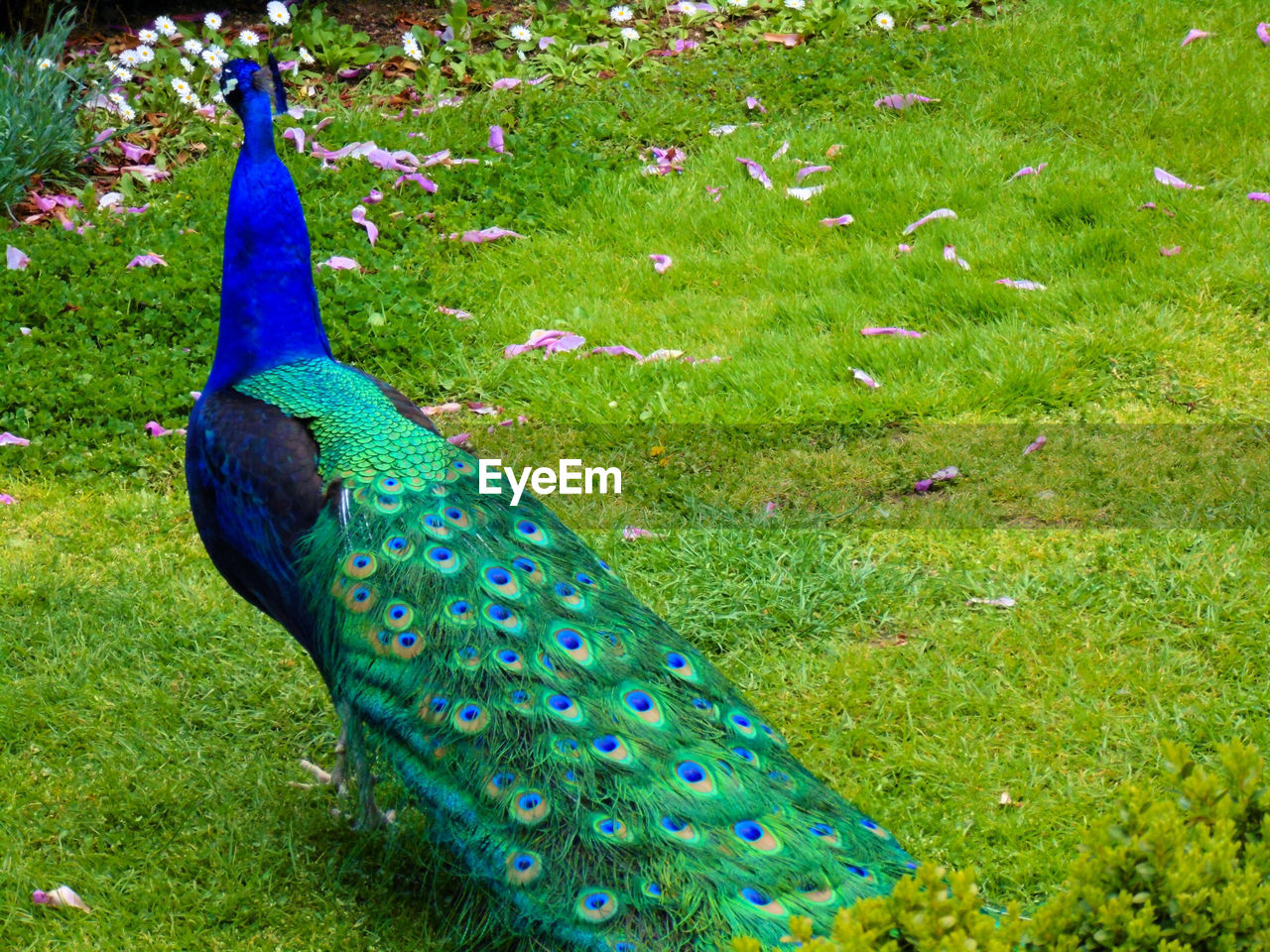peacock, bird, animal themes, grass, animal, green color, one animal, plant, vertebrate, animals in the wild, nature, animal wildlife, male animal, beauty in nature, day, field, no people, feather, peacock feather, land, outdoors, fanned out