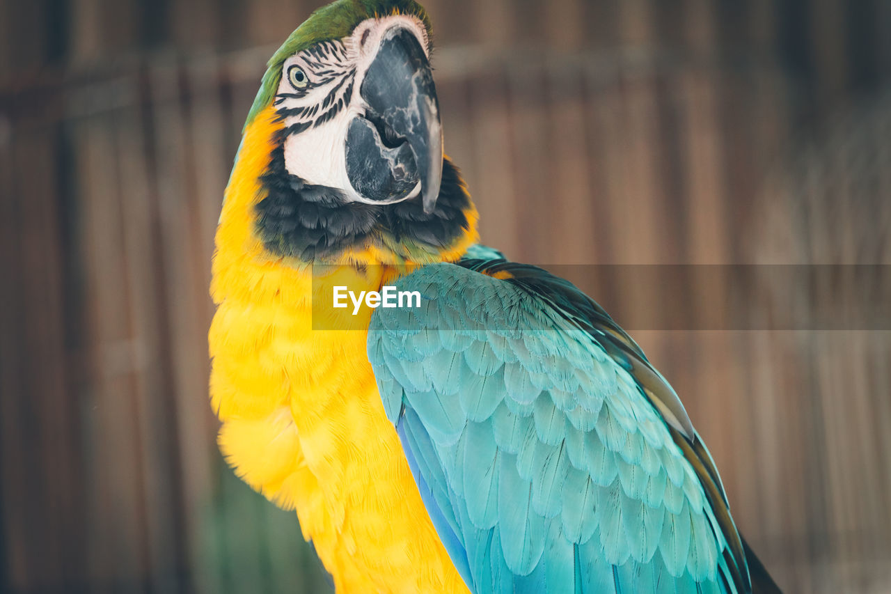 Gold And Blue Macaw Looking Away Outdoors