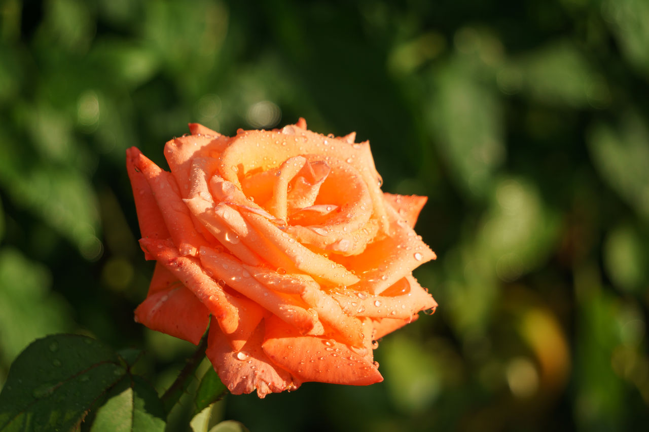 flowering plant, flower, plant, flower head, beauty in nature, inflorescence, petal, vulnerability, rose, close-up, focus on foreground, fragility, freshness, growth, rose - flower, orange color, nature, no people, day, outdoors, dew