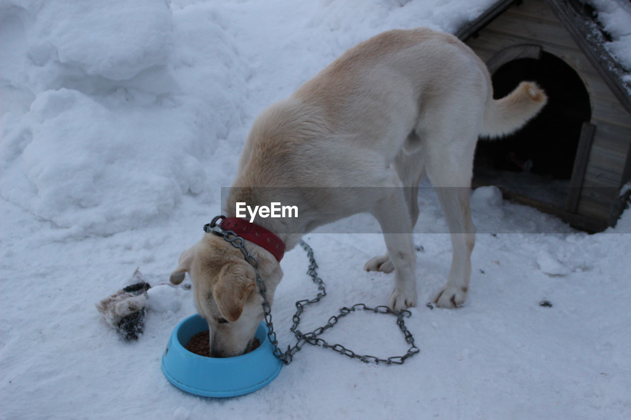 mammal, animal, one animal, animal themes, domestic, domestic animals, pets, canine, cold temperature, dog, vertebrate, snow, winter, white color, no people, nature, land, collar, leash