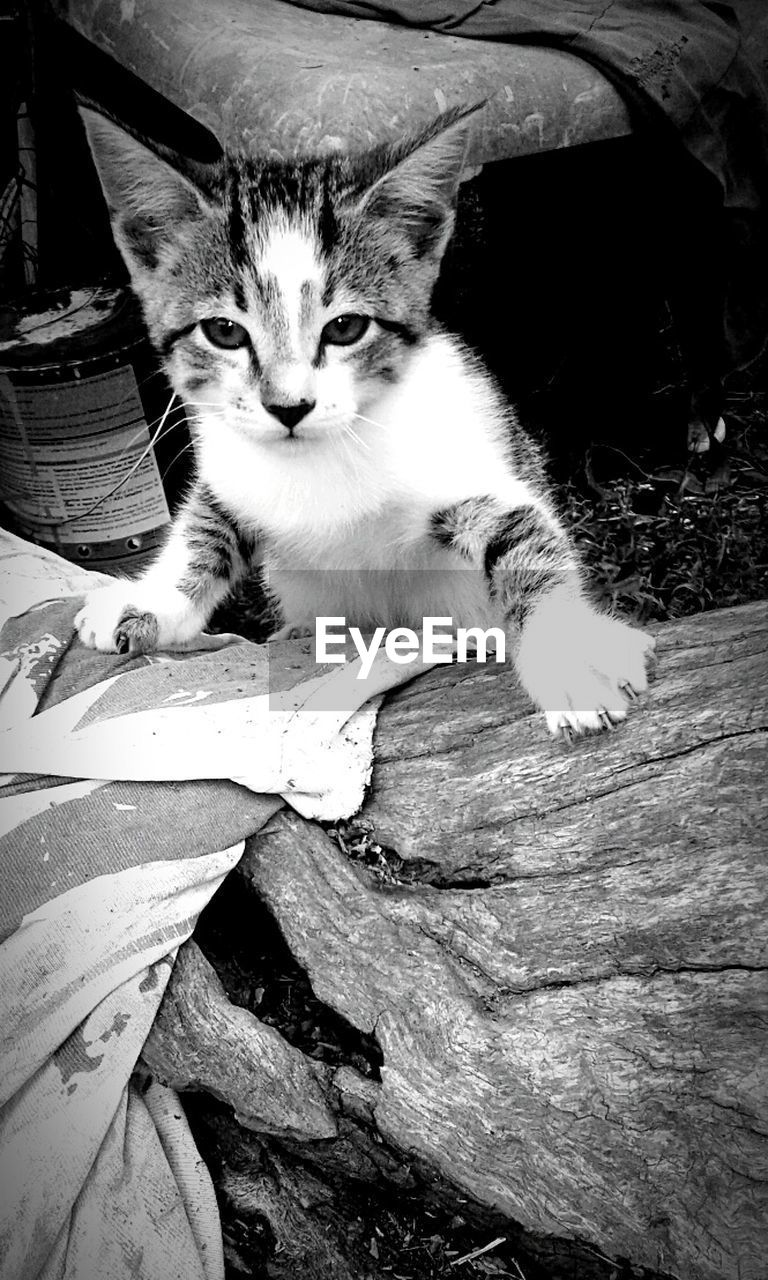 domestic cat, pets, domestic animals, animal themes, one animal, mammal, feline, sitting, looking at camera, portrait, day, no people, outdoors, close-up