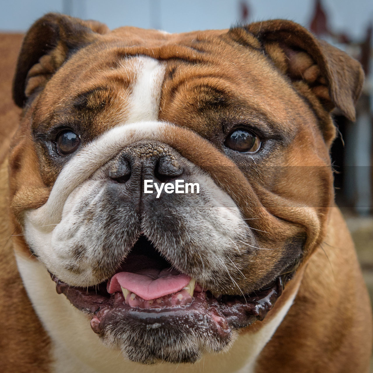 dog, canine, one animal, pets, animal themes, animal, domestic, mammal, domestic animals, vertebrate, close-up, animal body part, no people, focus on foreground, animal head, brown, portrait, looking at camera, indoors, looking, animal nose, snout, animal mouth